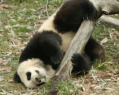 Mr. huggable (somesai) Tags: animal animals smithsonian panda endangered pandas butterstick