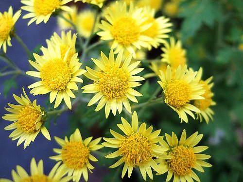 2006_1231新竹油菊