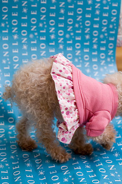 Misty - Teacup Poodle