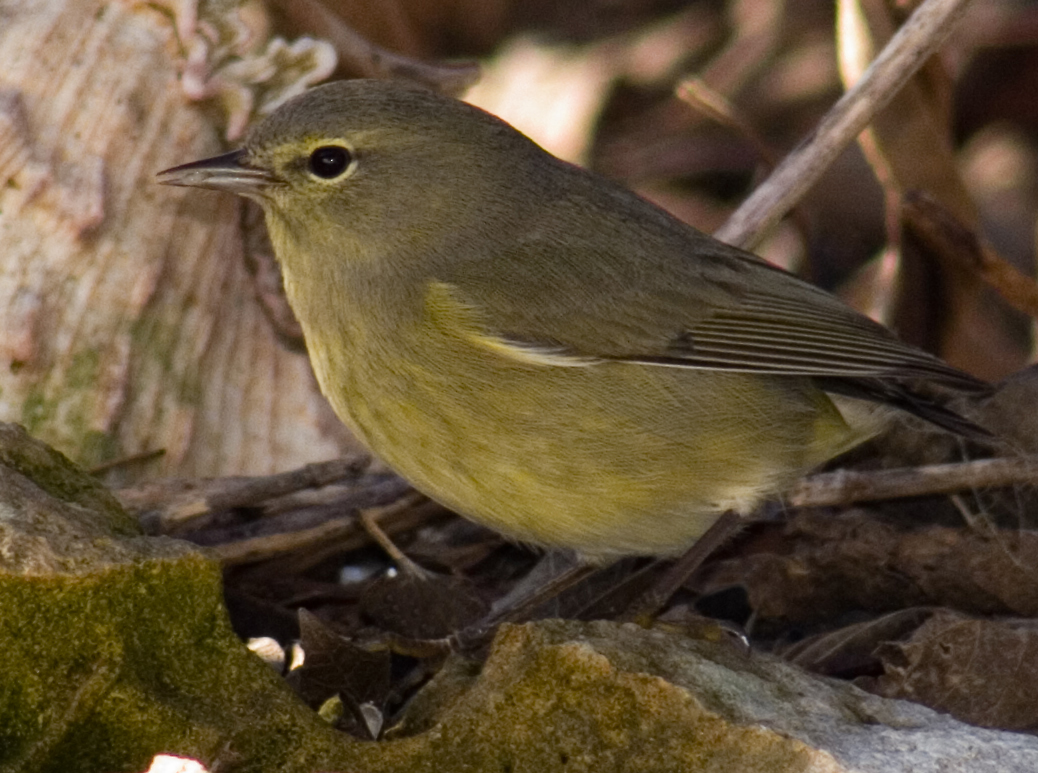 Orange-crowned warbler 3