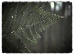 Fern 4 (Haakon von Martinsky) Tags: las autumn fern green nature flora herbst natura wald jesień przyroda roślina zieleń paproć slavko6591