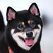 柴犬:小莉