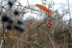 Berries (amaranth628) Tags: forest sticks bush woods berries path branches amaranth628