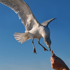 Feed (shutterBRI) Tags: ocean travel bird nature canon wow photography fly flying photo nc cool feeding action wildlife seagull gull flight no