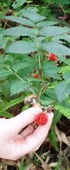 Wild raspberries, Holywell