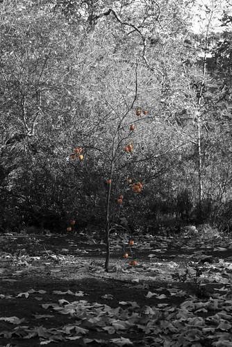 柿の木@Sycamore