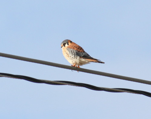 american kestrel back