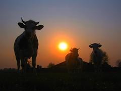 Koeien en zon.... (Truus) Tags: summer sun jan zomer zon regen achterhoek koeien truus specanimal