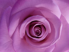 January Pink Rose center macro (Brian A Petersen) Tags: pink macro nature beauty rose brian petal petersen naturescenes bpbp brianpetersen brianapetersen