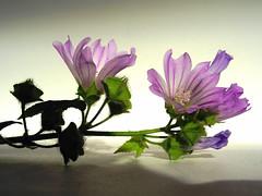 Wild flowers ( Graa Vargas ) Tags: flower topv111 purple explore wildflowers interestingness40 interestingness216 i500 graavargas 2007graavargasallrightsreserved 220923100910