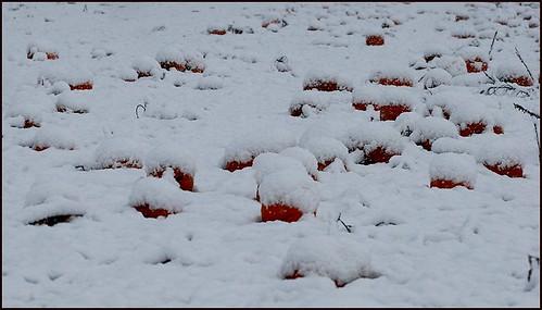 snowpumpkins