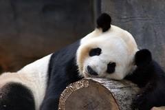 Daddy needed a nap (tammyjq41) Tags: atlanta zoo panda searchthebest yang tjs tjd specanimal animalkingdomelite abigfave zoosofthesouth impressedbeauty