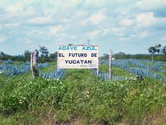 Blue Agave Field (badwood_digital) Tags: cacti mexico succulent yucatan tequila catus agave blueagave