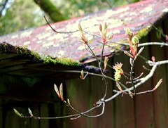 big leaf maple buds and abandoned cabin (pete@eastbaywilds.com) Tags: flowers trees maple native acer choice macrophyllum samaras bigleaf acermacrophyllarubra