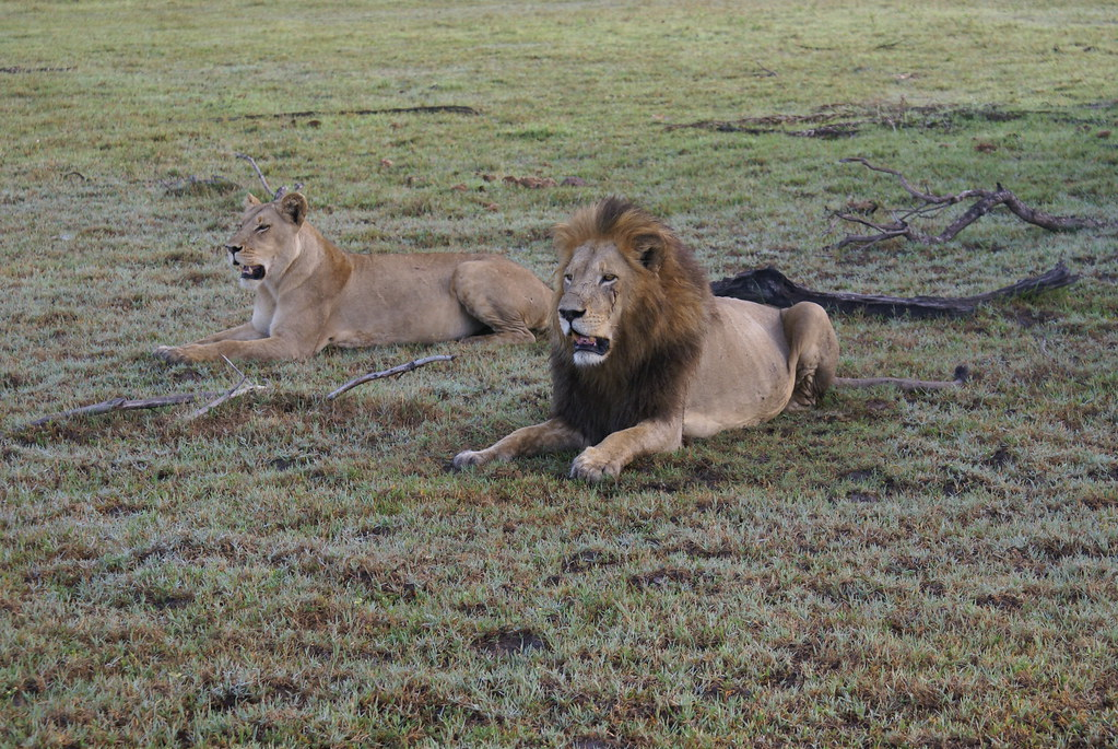 Lioness sitting profile