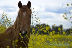 Springtime is good time. (wildphotons) Tags: ca horse competition mammals hoofed abigfave