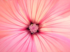 inside (haberlea) Tags: pink summer flower macro garden mallow inside rosemallow mygarden