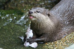 Otter at Singapore Zoo