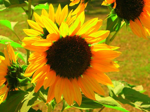 brighter than the SUN - sunflower