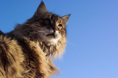 Cats Eye (Tomitheos) Tags: blue sky favorite cats sunlight toronto cute green eye pool beauty face animal animals cat photo google glamour eyes feline flickr post image superb interestingness1 perspective kitty pic images daily best explore nebula only fav choice popular masterpiece 2007 encyclopedia catface invited stockphotography glamourcatmagazine naturesfinest dreamjournal 100views10faves flickrtoday worldthroughmyeyes addonefavoriteanother addmeasafavorite fotocat kissablekat bestofcats toronto2007 kittyschoice  superbmasterpiece kittystormtroopers irressistiblebeauty kittyschoice kittys tomitheos shinningstar watchingthesky 500view20fave chatsdexception thegattigattinigattoni25thcontesttag