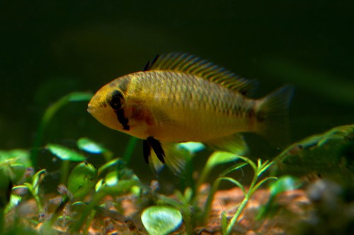 Apistogramma borellii female with babies