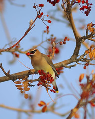 Berried Cedar Waxwing (Fort Photo) Tags: bird nature birds animal bravo colorado berries searchthebest bokeh fort quality wildlife birding fortcollins aves ave co collins ornithology waxwing cedarwaxwing avian 2007 mountainash bombycillacedrorum passeriformes naturesfinest blueribbonwinner magicdonkey 50faves featheryfriday instantfave birdphoto clff nikonstunninggallery bombycillidae abigfave shieldofexcellence anawesomeshot impressedbeauty 200750plusfaves goldenphotographer avianexcellence