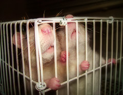 Noses! Noses! (birdtoes) Tags: pet pets animal animals rodent rat rats noses cuties rodents orton ratty ratties abigfave ultimateshot kikiandjpeg pet500