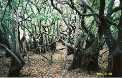 elfin forest? (Stylurus) Tags: trees cuba cayo awesometrees