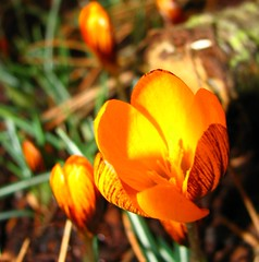 orange crocus