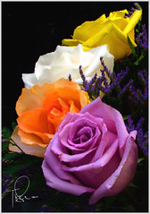 Multiple Roses (tishay) Tags: flowers roses orange white yellow foliage explore portfolio whiterose purplerose fujifilmfinepixs5100 flickrsexplore challengeyouwinner