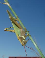 Langosta (Oitana) Tags: macro verde planta ojos cielo rosario bicho luciano insecto antenas langosta saltamonte tucura oitana