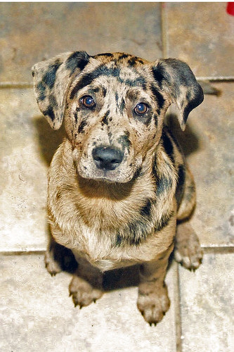 Catahoula Corgi Mix