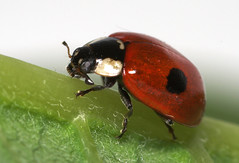 """Two-spot Ladybird (Adalia 2 punctata)(2) • <a style=""""font-size:0.8em;"""" href=""""http://www.flickr.com/photos/57024565@N00/399878761/"""" target=""""_blank"""">View on Flickr</a>"""