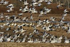 Snow Geese (moutdoors) Tags: snow goose sauvieisland snowgeese