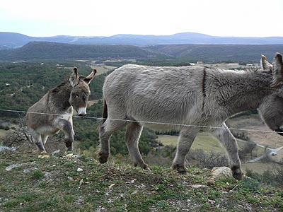 les ânes sur la colline