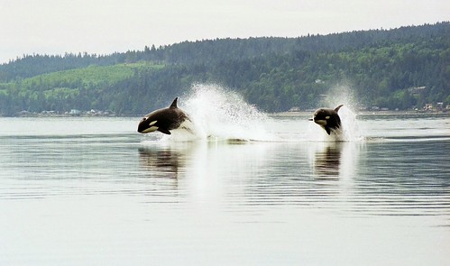 Porpoising orcas by Minette Layne.