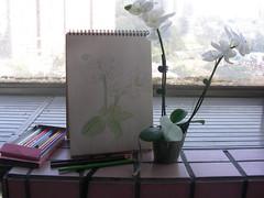 白色的蝴蝶蘭素描