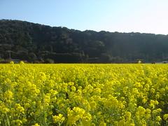 field mustard 01
