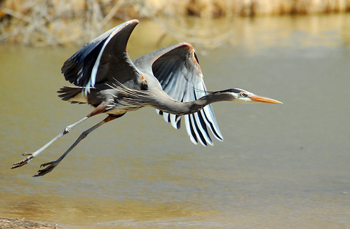 Great Blue Heron Redux I