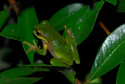 Cascade treefrog