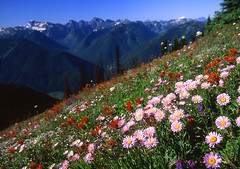 Wild Flowers (justb) Tags: park summer sun mountain mountains color film nature beautiful beauty field sunshine scenery colours natural outdoor scenic meadow scene velvia valley cascades vista fujifilm wildflowers colourful cascade paintbrush lupine aster manning provincial thesource naturesfinest