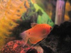 Goodbye. You don't interest to me... (. SantiMB .) Tags: pet fish pez peces gourami aquariums acuarios gurami colisa