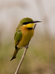 A chunky Little Bee-eater  (Merops pusillus) (tj.haslam) Tags: wild bird birds geotagged e300 senegal dakar 50200mm birdwatching senegambia zd blueribbonwinner technopole littlebeeeater meropspusillus anawesomeshot birdsofwestafrica brisbanebirds birdsgs meropspusilluspusillus nozooshots