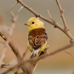 Sudan Golden Sparrow  (Passer luteus) (tj.haslam) Tags: wild bird birds e300 senegal dakar 50200mm birdwatching senegambia zd technopole fbwnewbird fbwadded birdsofwestafrica sudangoldensparrow passerluteus birdsgs nozooshots