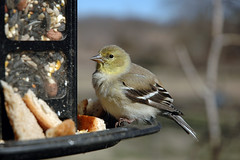 Stunned Goldfinch.
