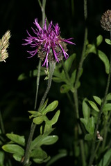 548754996 Greater_Knapweed 2007-06-13_20:03:45 Cothill