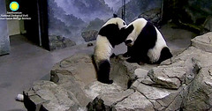 Mama Mei is so patient as Bei nibbles her head.  ./sx92.png (heights.18145) Tags: smithsoniansnationalzoo beibei meixiang corner panda bear pandabear cuteanimals bearcubs motheranimals ccncby