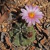 Echinocerus knippleanius (l.e.violett) Tags: cactus flower cultivated echinocereus knippleanius