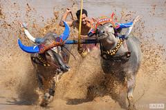 Buffalo Racing (David_Lazar) Tags: bali indonesia buffalo negara