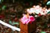 茶花 (紅襪熊 ʕ・ᴥ・ʔ) Tags: fujica st705 m42 底片機 底片 銀鹽 fujifilm fuji fujicast705 filmphotography meyeroptikgörlitztrioplan100mmf28 meyeroptik görlitz trioplan 100mmf28 100mm f28 bokeh meyer optik gorlitz meyeroptikgörlitztrioplan28100 meyeroptikgorlitztrioplan100mmf28 白銀 rossmann 400 rossmann400 camellia 椿 花 flowers flower 茶花 山茶花 camelliajaponica 陽明山 花季